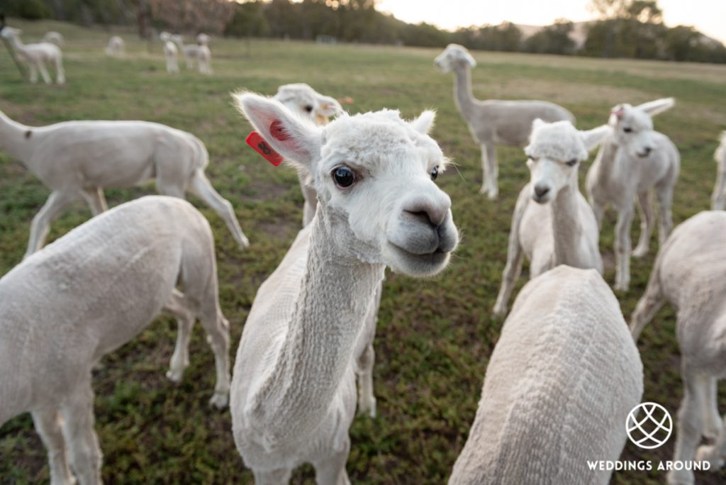 Starline Alpaca Farmstay Resort